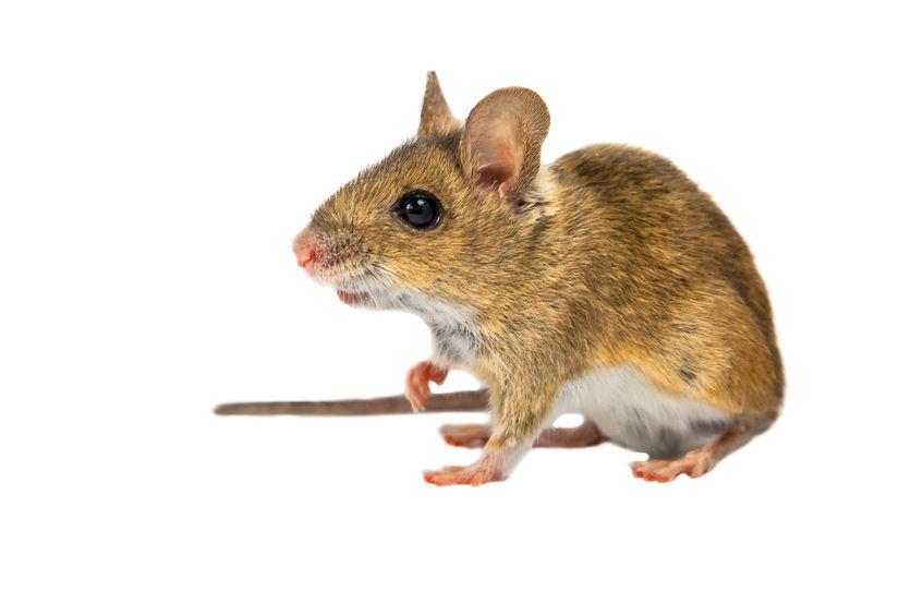 Hatékony patkányirtás: Ne hagyja, hogy berendezkedjenek!