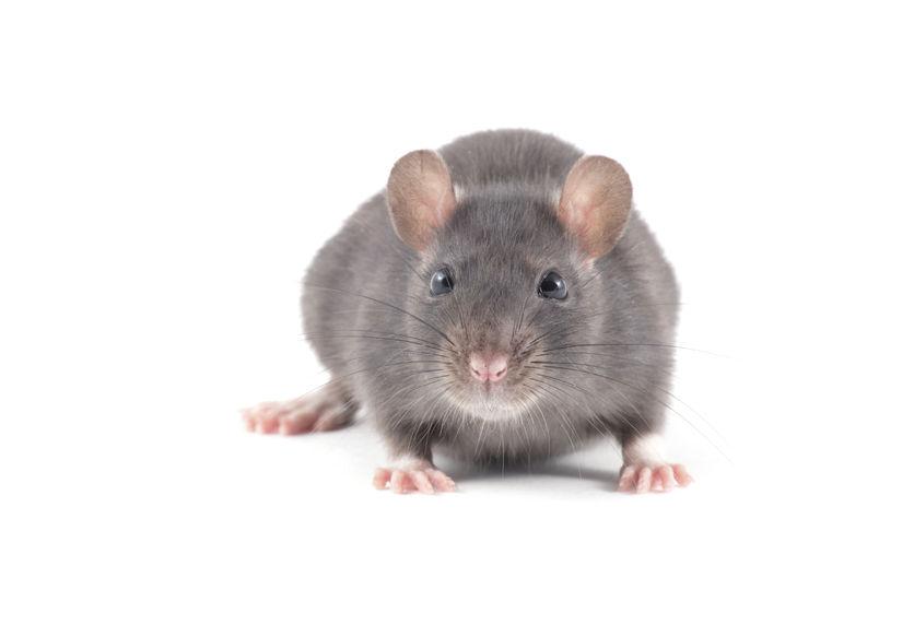 A városi patkányirtásról bővebben