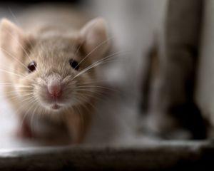 Betolakodó a lakásban? Segítünk az egerekkel szemben is!