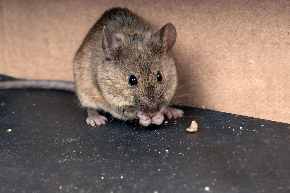 Az egerek irtása télen is fontos!
