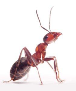 Kártevő a házban: A hangya